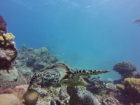 Cairns Schildkröte