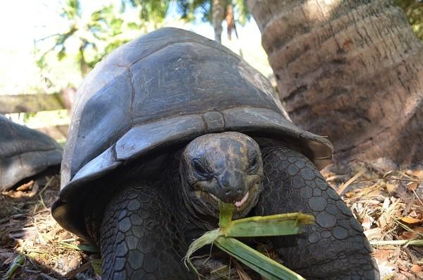 Schildkröte Praslin
