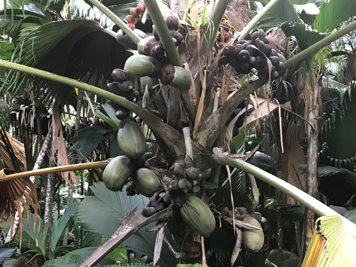 Praslin Coco de Mer
