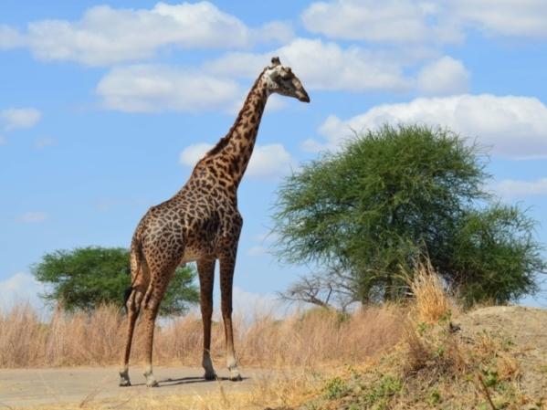Giraffe Tarangire Tansania