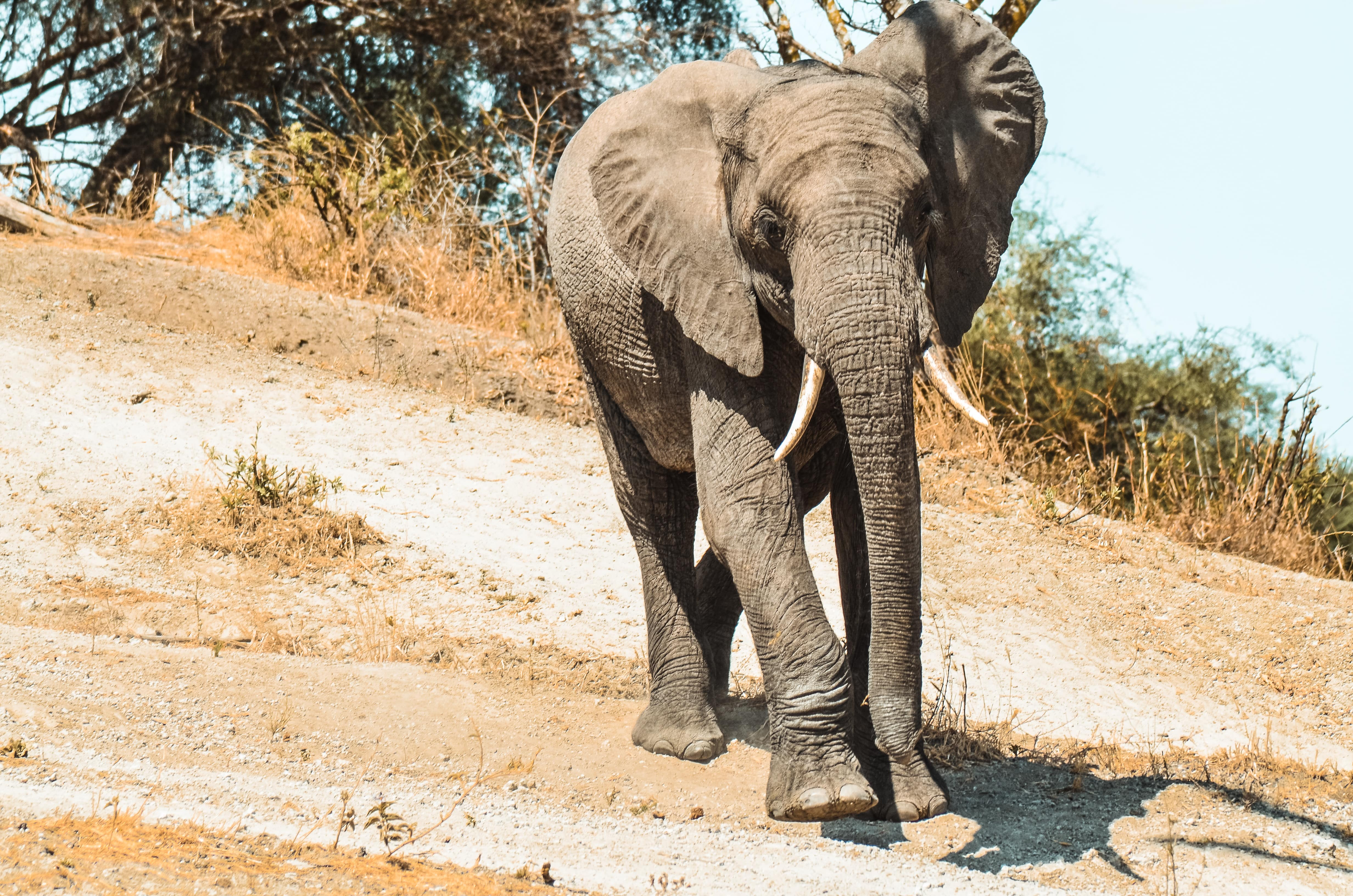Elefant Tansania