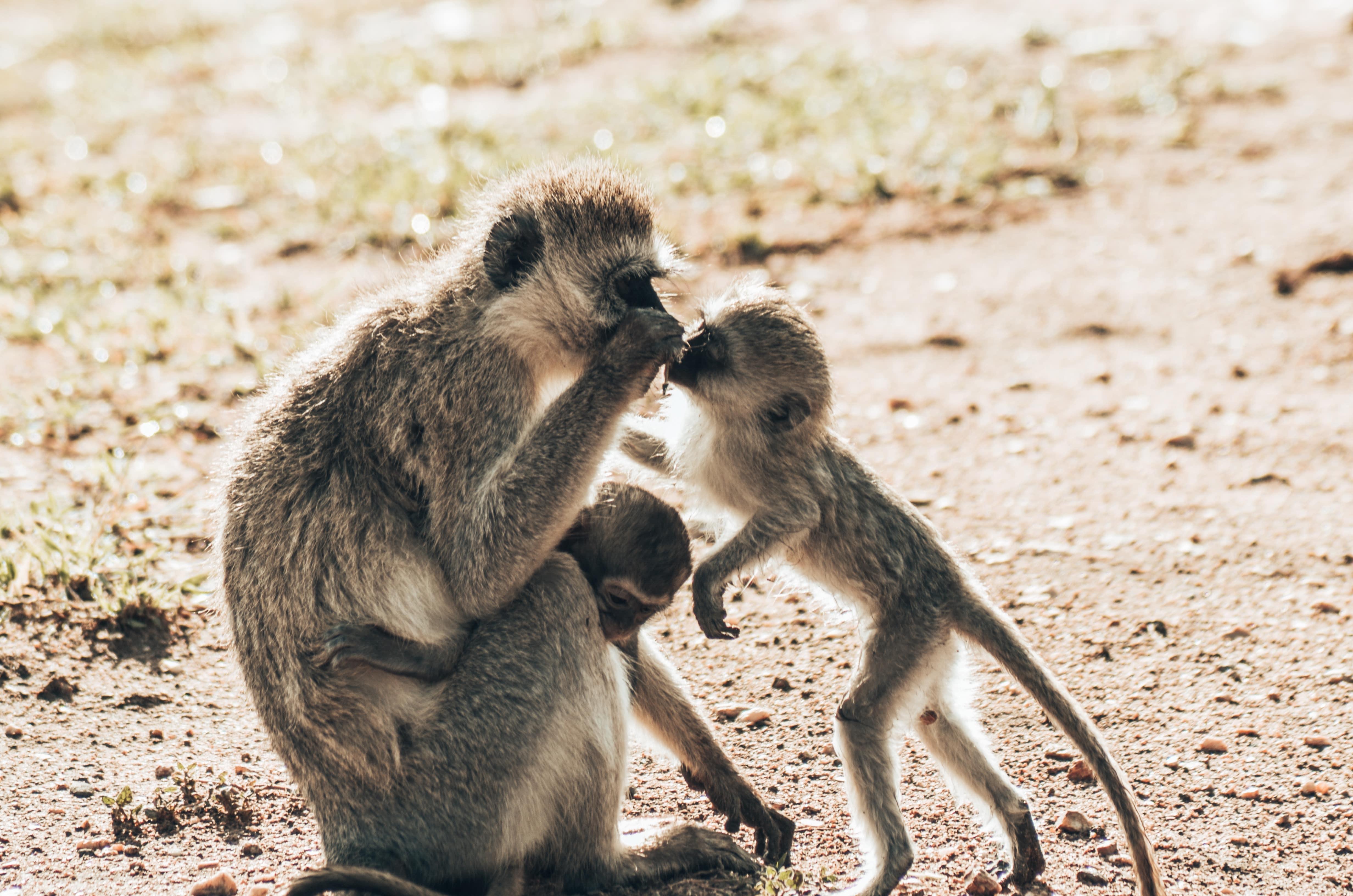 Affen in Tansania Safari