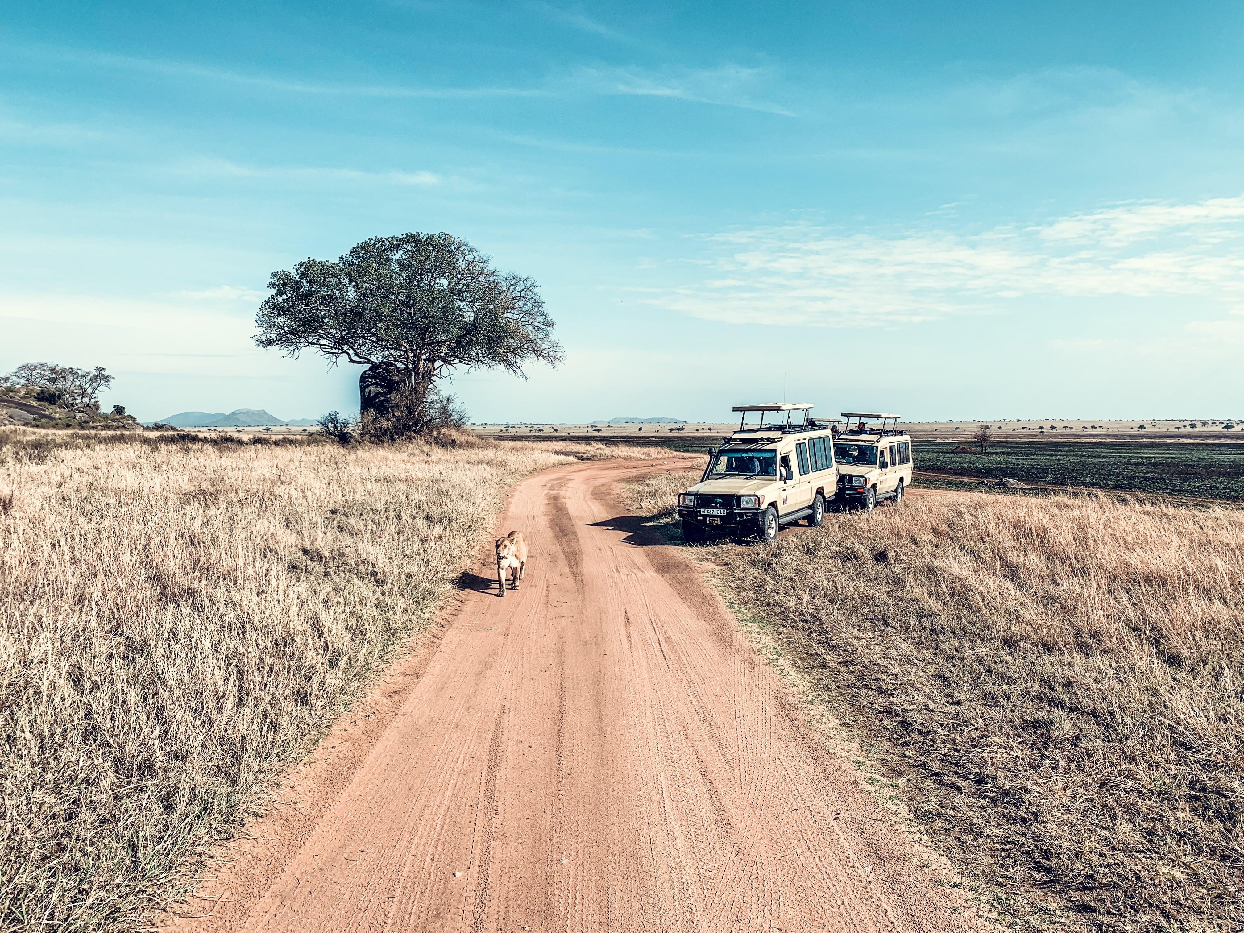 Löwe auf Tansania Safari