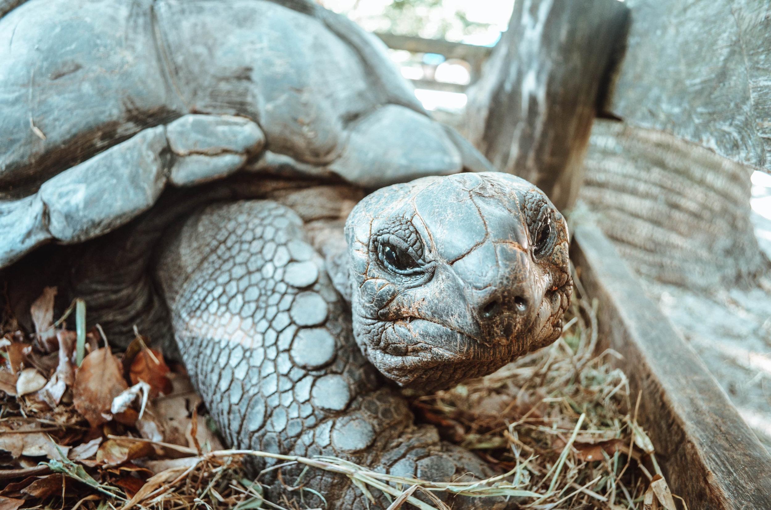 Schildkröte auf den Seychellen